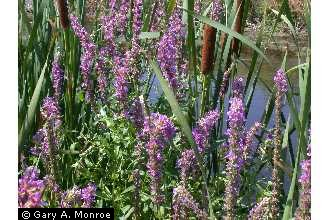 Loosestrife Image 1