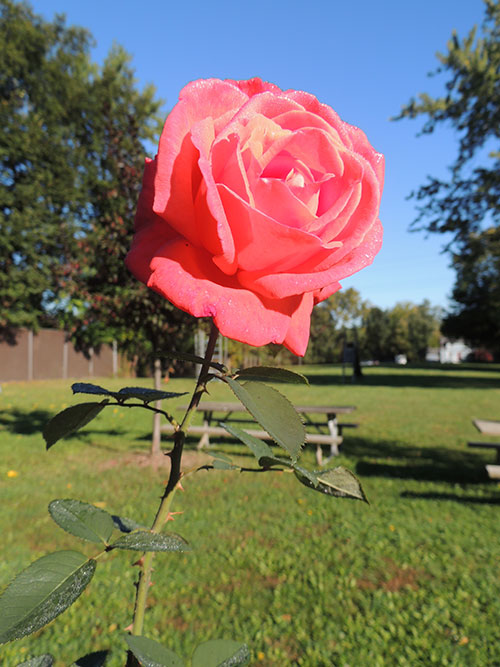 Rose at Watertower Park Photo